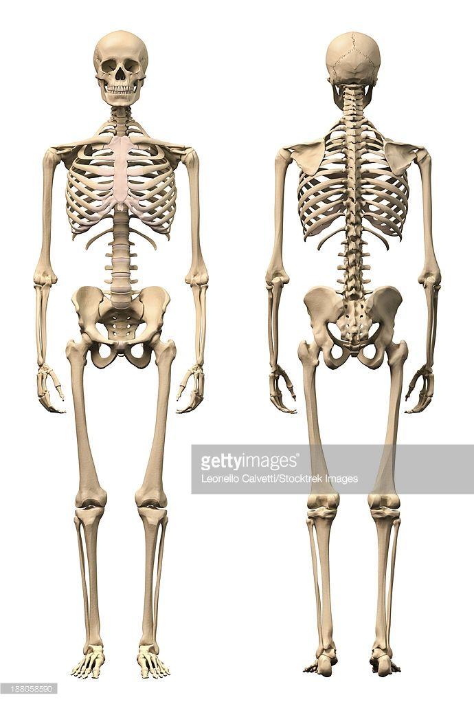ストックイラストレーション : Anatomy of male human skeleton, front view and back view.