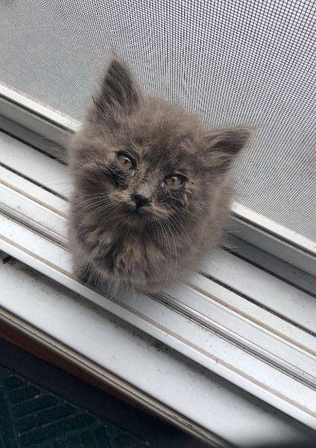 Found this little furball meowing at me on my way out yesterday. Not sure if it's a boy or a girl. Definitely positive it's adorable.!!! http://ift.tt/2lpWlhS