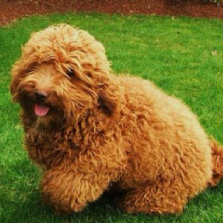 Download Labradoodle Chubby Adorable Dog - 9a9b58e2cc07d99016b64965a21b2f86--for-the-home-labradoodles  Photograph_223295  .jpg