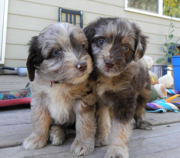 Mini Aussiedoodle puppies:never heard of these before but if they don't shed I'll take it! Still super cute!!
