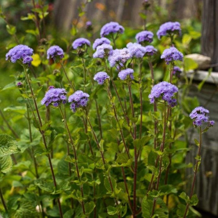 Floss Flower How To Care For Ageratum Houstonianum In 2020 Best Mosquito Repellent Plants Cottage Garden Plants Mosquito Repelling Plants