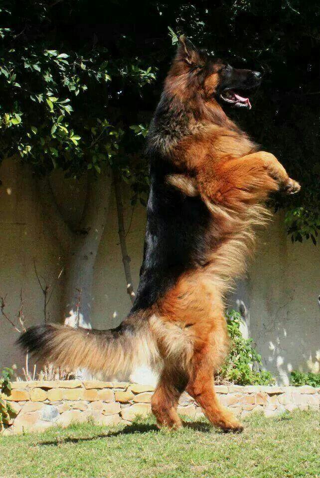 GSD walking tall (or peering at the foxy poodle next door?) #germanshepherd