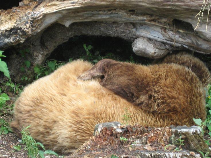 Urso dormindo no jardim zoológico de Hellbrunn