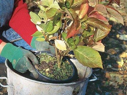 Comment et quand planter un hortensia dans son jardin ?   Quand planter des hortensias, Planter ...