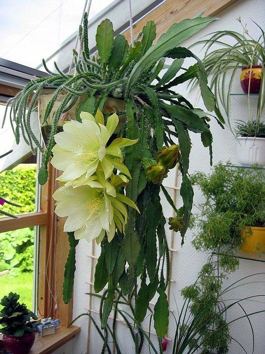 Crenatum Epiphyllum kimnachii Picture