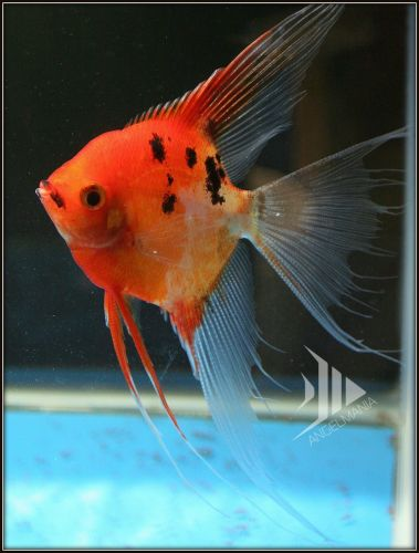 Ultimate Coverage Koi Angelfish