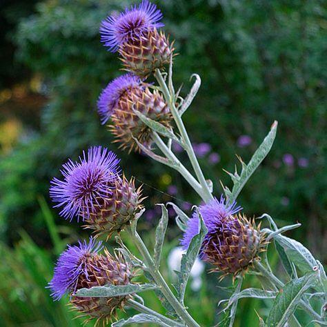 Cynara cardunculus (Cardoon) - Artichoke Thistle - Fine Gardening Plant Guide