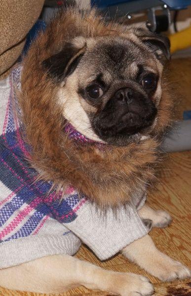 Pug Lion King Winter Clothes