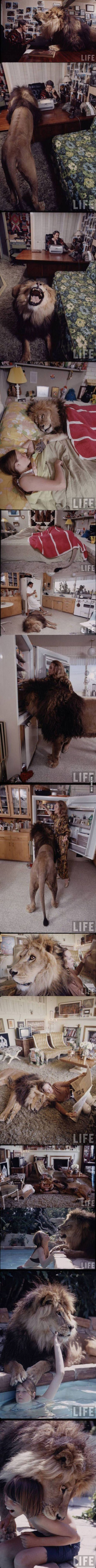 How a lion lives with a family