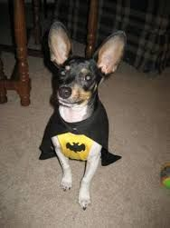 Image result for rat terrier chihuahua mix