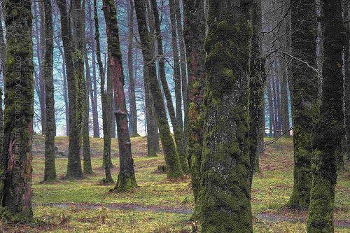 Pellines de invierno - Neltume (Chile) | El bosque de tipo S… | Flickr