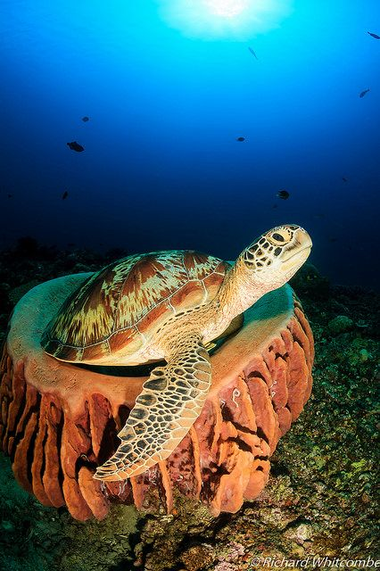 Turtle in a sponge…Again by WhitcombeRD on Flickr.