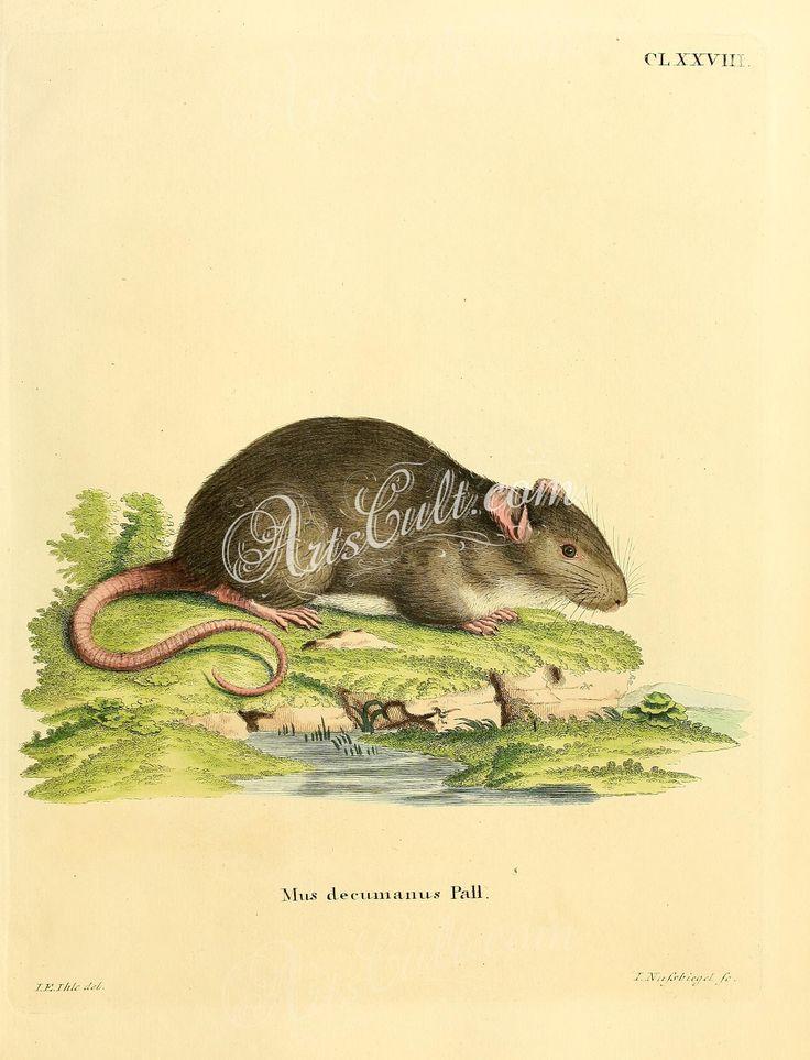 Brown rat, 2      ...