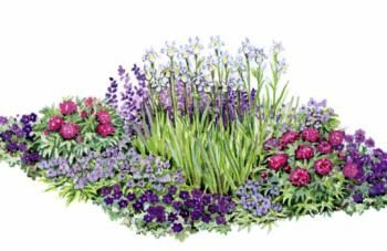 Цветник с пионами, ирисами, баптизиями и традесканциями  Время цветения:июнь-июль, месторасположение солнечное