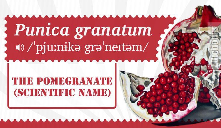Punica granatum / The pomegranate (scientific name) #vocabulary #englishlanguage #pronunciation #phonology