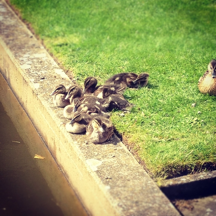 The ducklings at Churchill are growing up so fast!