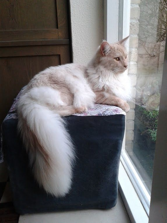 Thus is an Angora cat. I have one, she was a stray. Her name is Pumpkin. :3 She mah baybee...