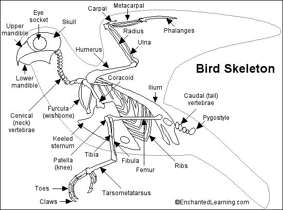 Bird Skeleton Printout- bird bones are hollow--if can have cut a chicken bone up to show air pockets to keep bones light. EnchantedLearning.com