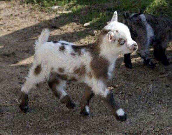 Baby goatie out for a stroll.