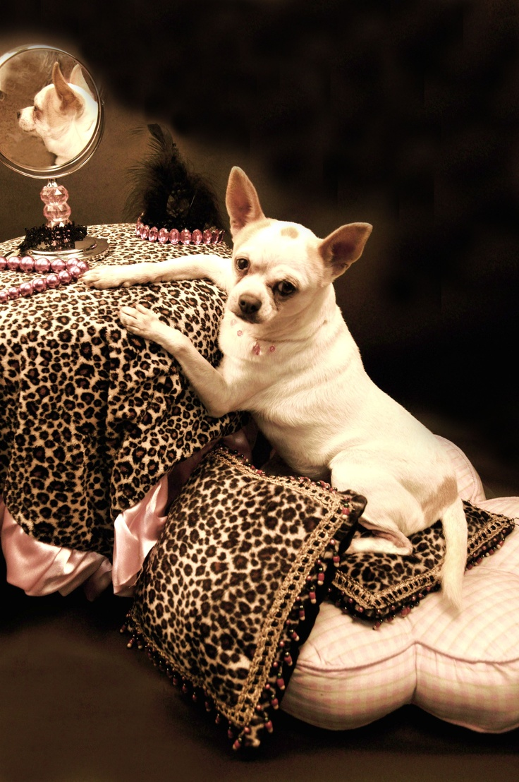 Piglet <3 a rescue Chihuahua (from rags to riches)