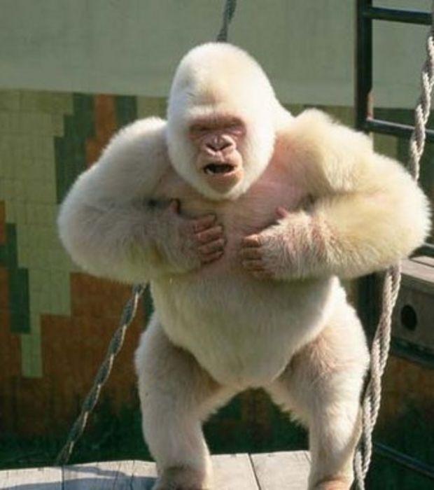 Photo : Gorille albinos : aucun autre cas de consanguinité n'a encore été identifié chez les gorilles des plaines de l'ouest. Toutefois, certaines sous-espèces de gorilles organisées en petites populations s'accouplent très occasionnellement en famille
