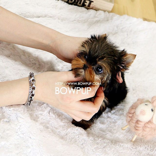 Our Teacup Yorkshire Terriers Are The Best In The Market! They stay small and light! :D Expected weight is under 3 pounds full grown. Life expectancy is same as standard ones. Any Yorkie Lovers?? . . For puppy adoption inquries, please contact +1 (724) 220-6162 Bowpup Representitive or email to bowpup@gmail.com . .  For client reviews and other breeds of our puppies, please visit www.bowpup.com @bowpup #yorkshireterriersofinstagram #yorkieoftheday #yorkiepuppy #yorkiegram101…
