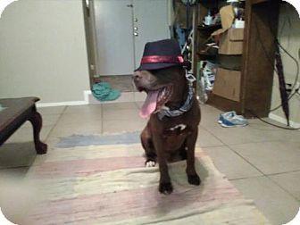 Houston, TX - American Bulldog/Boxer Mix. Meet Moody, a dog for adoption. http://www.adoptapet.com/pet/15622766-houston-texas-american-bulldog-mix