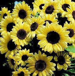 Bunga Matahari Valentine
