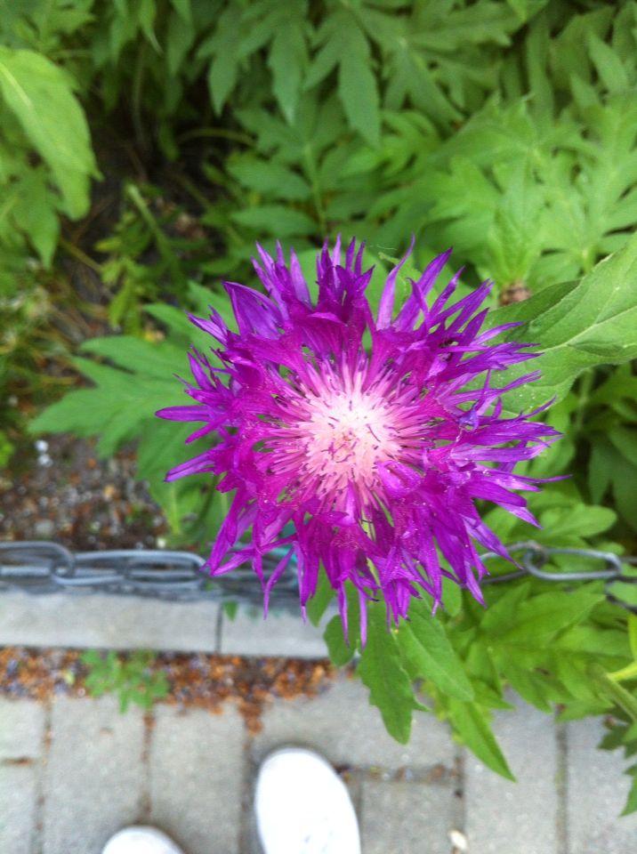 To jest kwiat kolcztek