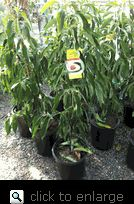 Little Cado Dwarf Avocado Tree, Five Gallon Container.  Grow a Dwarf Avocado tree in a container!!