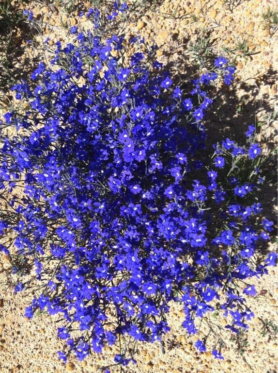 Damperia. Beautiful blue flower found in many areas of Western Australia