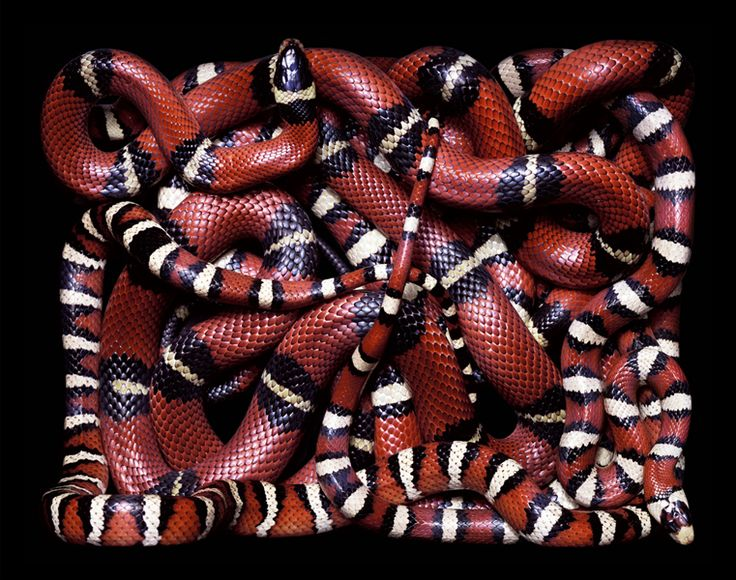 Serpens Part I - Photo by Guido Mocafico.  Looks like Coral or Milk Snakes. Probably Milk.