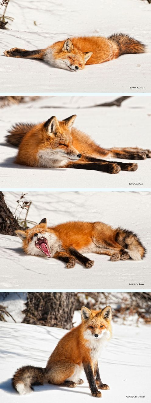 Sleepy Fox by Les Piccolo