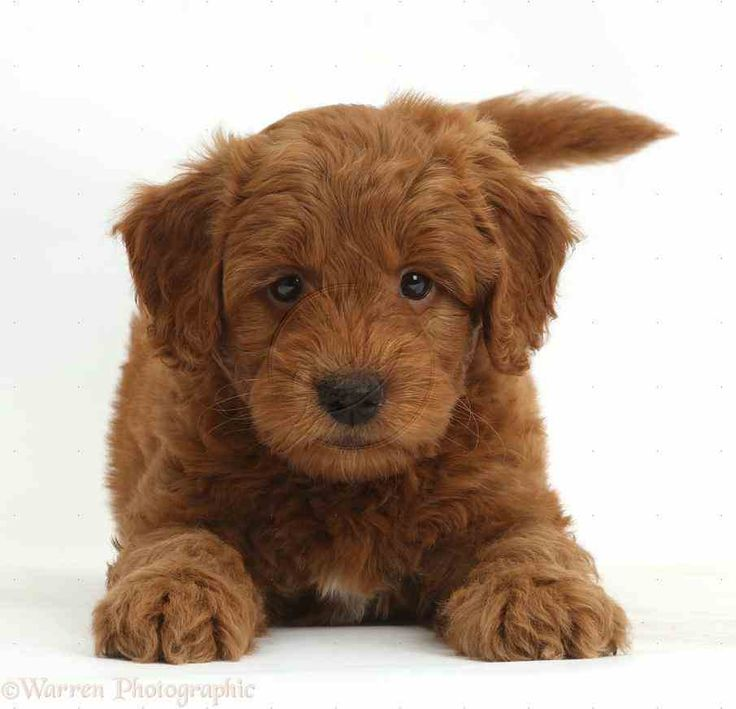 red goldendoodle puppy