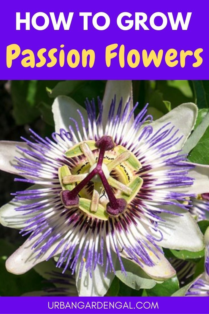 Find Out How To Develop Ardour Flowers In 2020 Passion Flower Passion Flower Plant Garden Vines