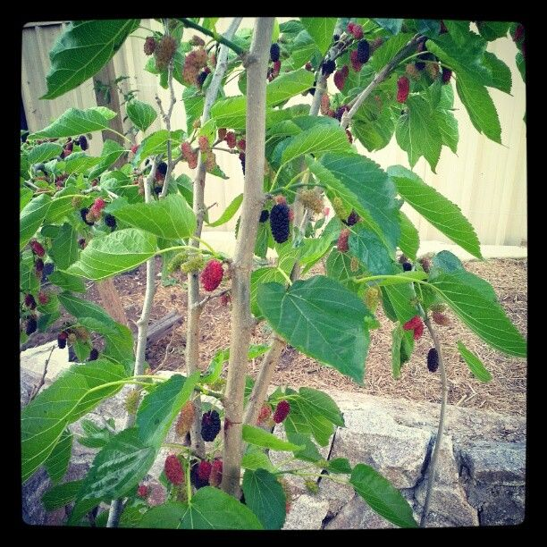 Mulberries from the mulberry tree