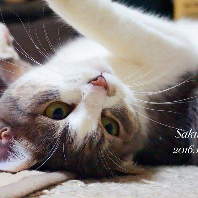咲ちゃん遊んで欲しくてたくさんおねだりしてきます😍✨夜なので綺麗に撮れないですが、たくさん咲ちゃんの写真撮り溜めして帰ろ〜😸💕 #ファインダー越しの私の世界 #ミラーレス一眼 #カメラ女子 #写真好きな人と繋がりたい #写真撮ってる人と繋がりたい #猫好きさんと繋がりたい #猫 #ネコ部 #にゃんすたぐらむ #可愛い #サバシロ #サバシロ猫 #トラ猫 #愛猫 #おねだり #モフモフ #咲ちゃん #咲 #cat #cats #kittycat #cute #meow #sonya6000