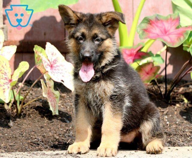 German Shepherd Puppies For Sale Puppy Adoption Keystone Puppies German Shepherd Puppies Newborn Puppies Shepherd Puppies