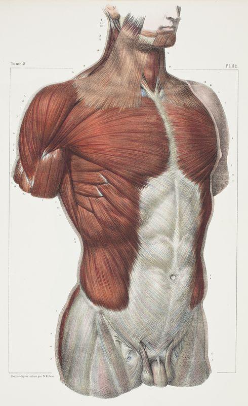 Anatomical plate Traité complet de l'Anatomie de l'Homme.Vols. I- VIII, (Second edition, Paris, 1867–1871) Author: BOURGERY, Jean-Baptiste (1797-1849). Large_bourgery_1832_muscles_torsotif