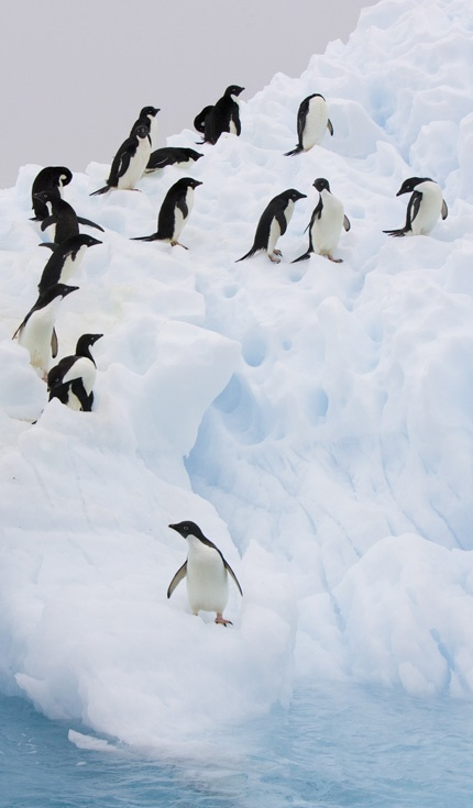 Adelie Penguins (Pygoscelis adeliae) on iceberg, Paulet Island, Antarctica. © naturepl.com / Suzi Eszterhas / WWF-Canon