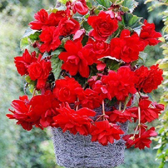 Begonia Seeds Cascade Beauty Scarlet 15 Thru 500 Pelleted Seeds Flower Seeds Begonia Hanging Baskets