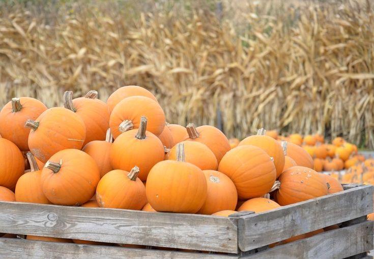 Farma dyń Pumpkin farm