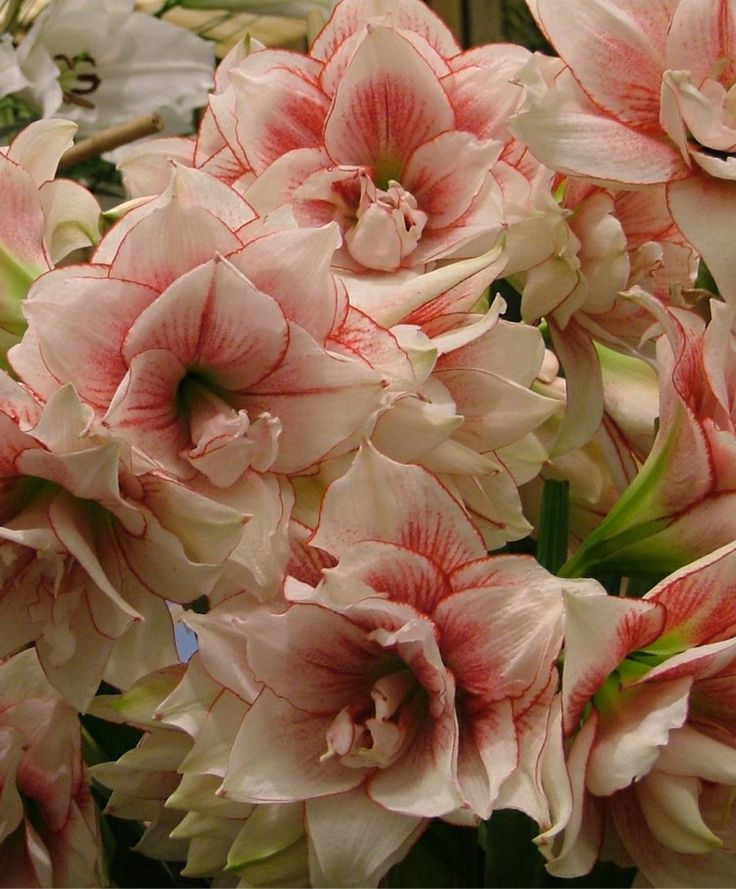 Amaryllis Elvas - Royal Dutch Hybrid Double Amaryllis - Amaryllis - Flower Bulbs Index