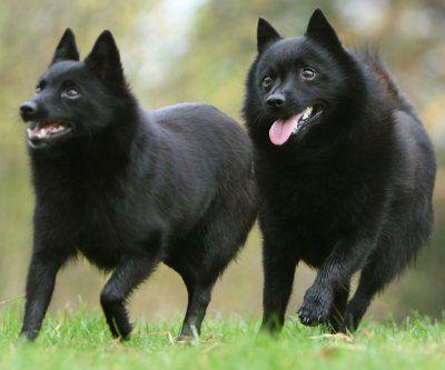 Schipperke dogs,love my rebel