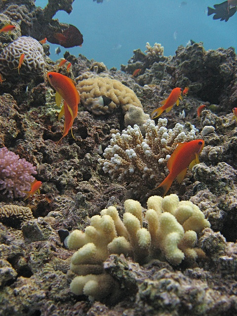 Lyretail Anthias, Red Sea