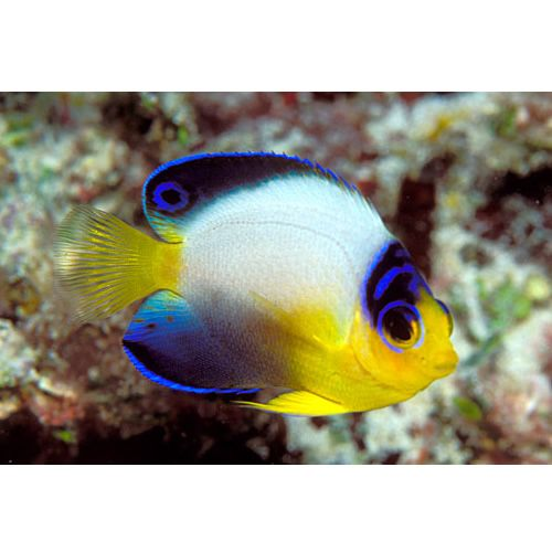 1007 best images about saltwater fish tanks on pinterest for Cool tropical fish
