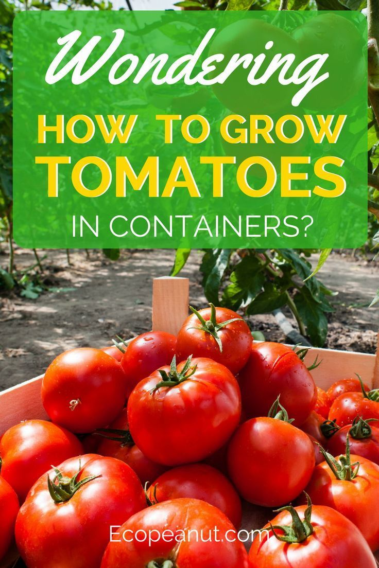Juicy Home Grown Tomatoes In 6 Easy Steps Container Gardening