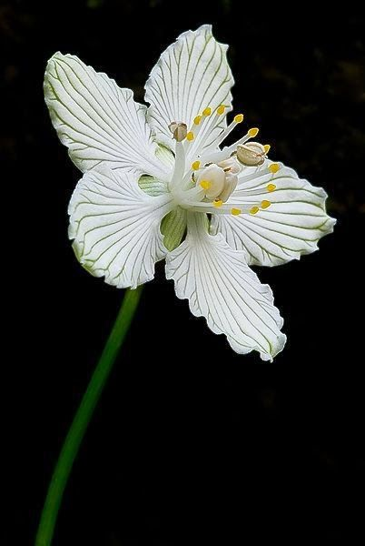 Grass-of-Parnassus by Scott. The exquisite petals look like delicately carved china. Beautiful shot.