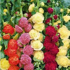 Stockrosen-Malven-Mischung,3 Pflanzen