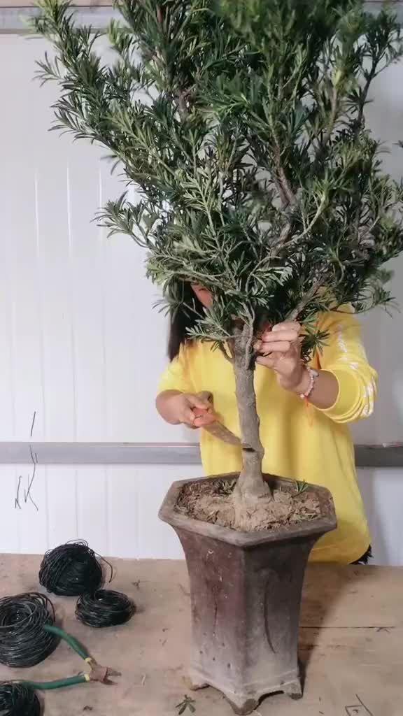 Meja Teknik : teknik, Solid(@mejasolid), TikTok:, Teknik, Pembuatan, Bonsai, Bonsai,, Tree,, Interesting, Things